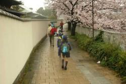 満開の桜の下、あいにくの雨の中を元気よく歩く参加者の皆さん。