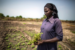 Elizabeth Abraham, a mother of five, holds tomato crops before planting them in a demonstration garden in Bentiu, South Sudan, Saturday 27 May 2017. Elizabeth used to have a large plot of land before the conflict in South Sudan started in December 2013. She now plants crops in a UNICEF supported Community Health and Development Organisation (CHADO) project which runs demonstration gardens in Bentiu and Rubkona and aims to train 30,000 mothers, whose children are malnourished, in agricultural practice. The nutrition situation in South Sudan remains dire as the peak lean season approaches. In May 2017, UNICEF and partners screened 149,655 children (six to 59 months) with 6,068 identified with severe acute malnutrition (SAM) and 18,892 with moderate acute malnutrition (MAM). Screenings in nine out of 10 states indicate malnutrition rates above the emergency level. Countrywide, an estimated 5.5 million people are now food insecure. The security situation across the country remains unstable, severely impacting sustained humanitarian access. UNICEF continues to build upon existing community networks and other community-based resources to assess, plan and implement the humanitarian response, in order to strengthen local capacities and ensure accountability to affected populations.